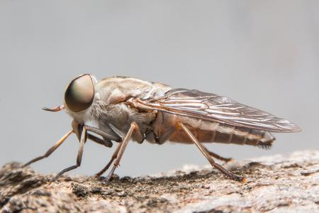 horsefly: horsefly Stock Photo