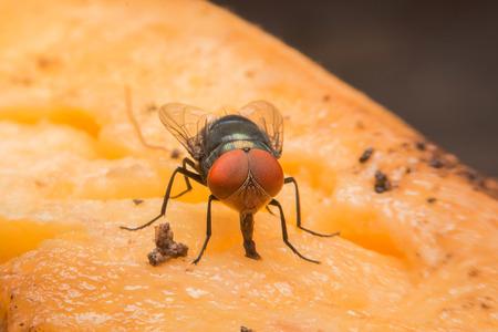 housefly: housefly