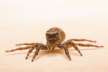 arcuata: jumping spider