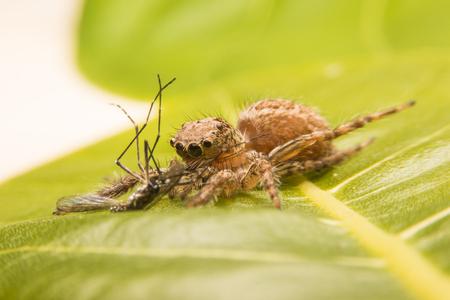 arcuata: jumping spider catch the victim