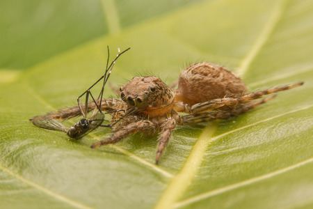 jumping spider catch the victim