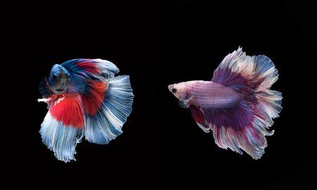 turba: siamese fighting fish Foto de archivo