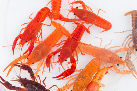 Australian red claw crayfish