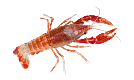 Australian red claw crayfish on isolated background Stock Photo