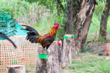 Thai fighting cock fancy is young and beautiful color hairs and red hood, is pet for show in farm