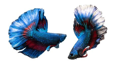 A Siamese fighting fish in any action on isolate background / half-moon beta fish