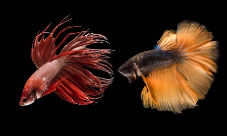 A Siamese fighting fish in any action on isolate background / crown tail fish and half moon