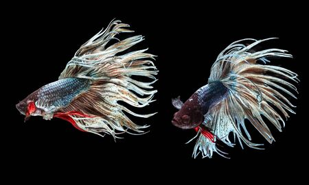A Siamese fighting fish in any action on isolate background / crown tail fish 版權商用圖片