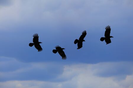 The crow fly on 4 steps on the sky and rainy clouds background 版權商用圖片