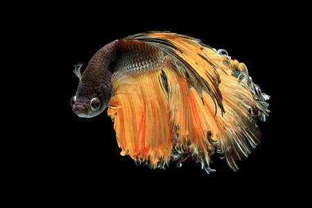 A Siamese fighting fish in any action on isolate background / fin in action of half-moon beta fish