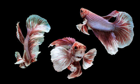 Dumbo betta fighting fish any action on isolate black background