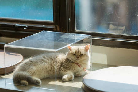 The cat long hairs in any acting, on board ,in glass box ,It sleeping and relaxed in air condition room and warm lighting from windows 版權商用圖片