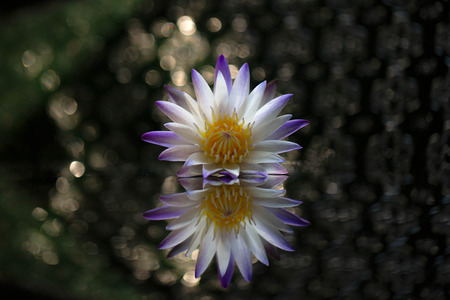 Lotus flowers on reflective glass 스톡 콘텐츠