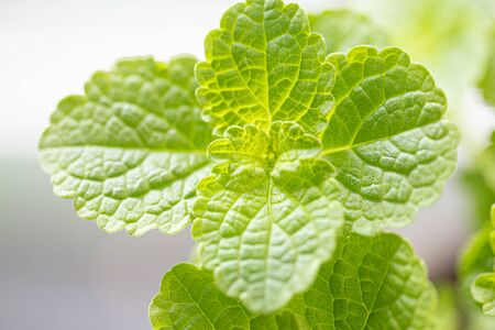 Green leafy vegetables of nature, non-toxic
