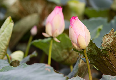 worshiped: Lotus flower  Stock Photo