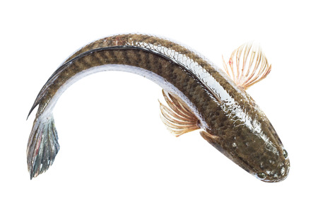 giant snakehead: fish (striped snake-head fish) in isolate on white.