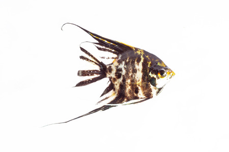 scalare: Angel Fish in isolate on white.