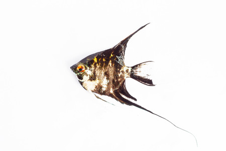 tropical fresh water fish: Angel Fish in isolate on white.