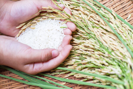 Rice in hand,rice is the most important economic crops in Thailand. photo