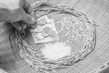 Rice, rice is the most important economic crops in Thailand.( black and white) photo