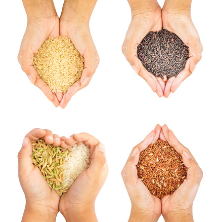 four hands: Black, brown,paddy and golden rice held in four hands isolate on white background.