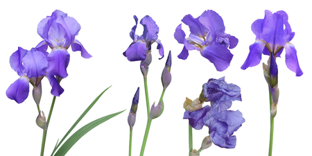 A set of stems, buds and flowers of purple iris. Irises for collage on white background.