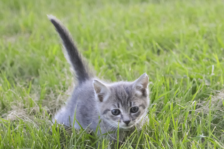 gray kitten, tail pipe against a background of green grass, kitten walking on nature, gray cat on grass background, pet on green lawn Stok Fotoğraf