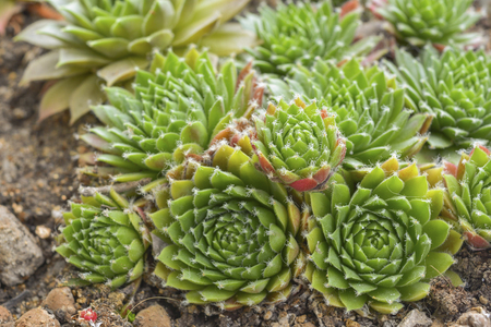 group of bright succulents close-up, top view