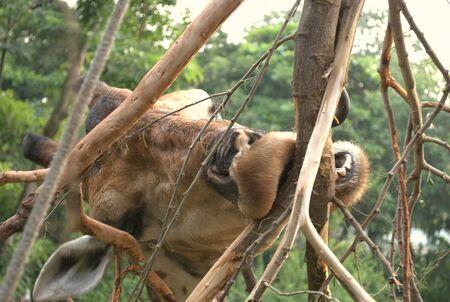 long nose: Giraffe eating bark