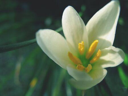 white flower , Thailand photo
