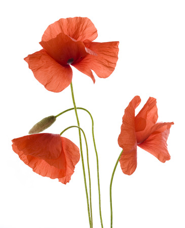 poppy flowers: Poppy flowers isolated on white background