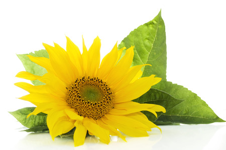 Sunflower with green leaves isolated on white background with copy space Banque d'images