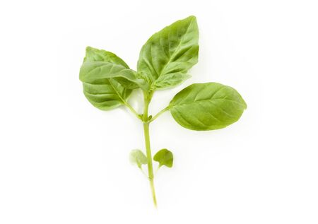 growing plant: Green basil leaves isolated on white background
