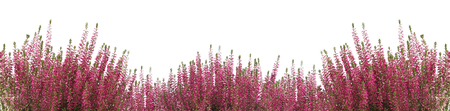 Heather flower background isolated on white. Panoramic photo with blank space for text. 写真素材