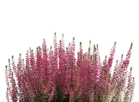 Heather flower background isolated on white.Photo with blank space for text. 写真素材
