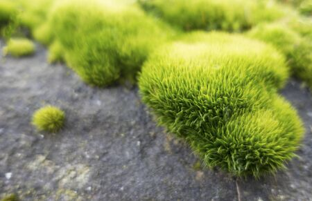 Green vibrant moss on the gray rock. Soft and blurred ideal for backgrounds with copy space. Banque d'images