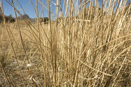 Dry straw grass field with blue sky. Macro view on yellow straw.