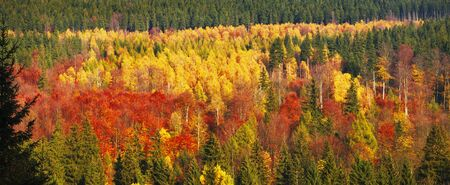 Forest in autumn colors. View from the distance. Panorama. Golden Polish autumn. Poland. Banque d'images