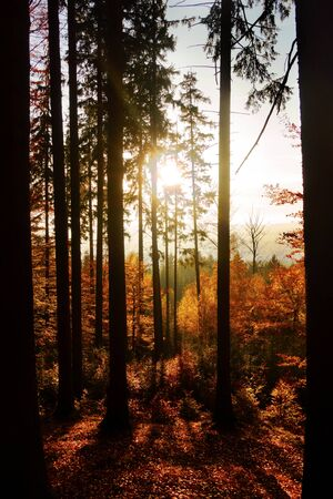 Sunset in autumn forest. Golden Polish autumn. Red leaves and silhouettes of trees wih backlights.