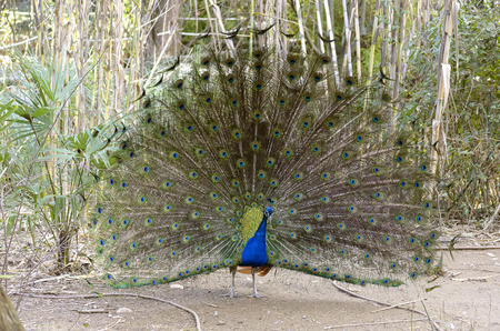 blue peafowl: Blue peafowl with plumage unfolded Stock Photo