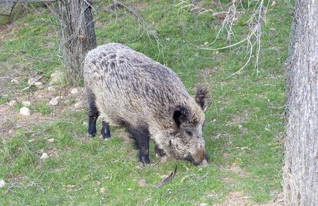 seeks: Beautiful wild boar seeks some food.