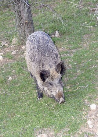 seeks: Beautiful wild boar seeks some food.  Stock Photo