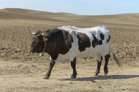 bullock animal: Ox walks over a sand road