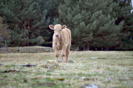 inocent: Beautiful calf is looking at us, from a certain distance at meadow, on a cloudy day.