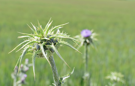 thistle plant: Green thistle plant, on the meadow, in a sunny day of spring.