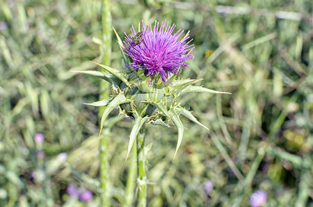 thistle plant: Insect is picking pollen, from a beautiful violet flower of thistle plant
