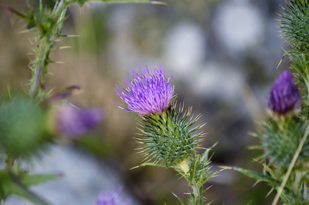 spectacular: Beautiful thistle flower, on the meadow, with spectacular colors.
