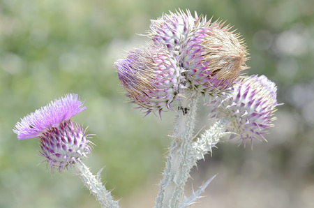 thistle plant: Thistle plant with some violet flowers, at the end of spring Stock Photo
