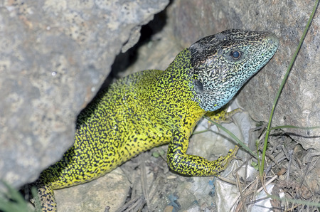 threatened: Iberian emerald lizard, over a rock. This reptil is endemic of Iberian Peninsula -Spain and Portugal-. Head is blue because he is a male in rut. This specie is threatened by habitat loss. Stock Photo