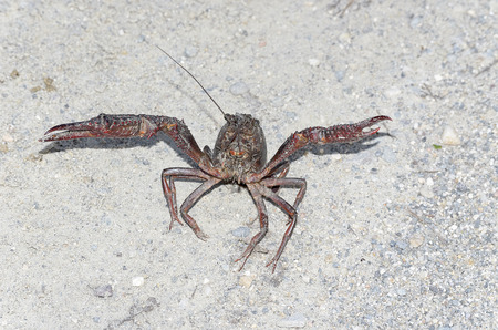road position: Procambarus clarkii. Crawfish with defense position, found on a road near a river. This specie is also know as american crawfish.